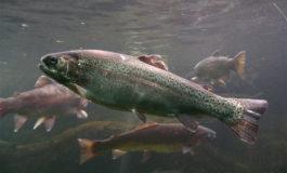 Da Regione Piemonte: riduzione della fauna ittica nelle acque piemontesi, la Regione al lavoro per ottenere dal Ministero l'autorizzazione di immissione