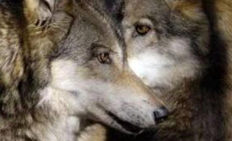 Squadre anti lupo pronte per difendere gli allevatori