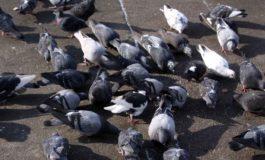 A Novi è guerra alle colonie di piccioni