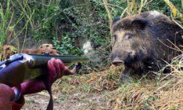 Cacciatore spara a un cinghiale ma l'animale lo carica e lui finisce all'ospedale in gravi condizioni