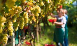 Nell'astigiano record di contagi con l'arrivo dei lavoratori stagionali dell'uva