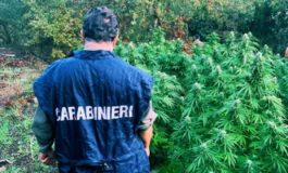 Scoperta dai Carabinieri e dalla Forestale una piantagione di marijuana a Brignano Frascata