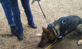 """Grazie a """"Orso Grigio"""" recuperati dalla Polizia Municipale oltre cento grammi di droga ai giardini della stazione di Alessandria"""